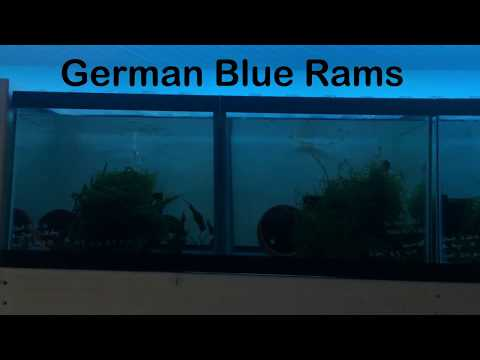 How To: Breed German Blue Rams