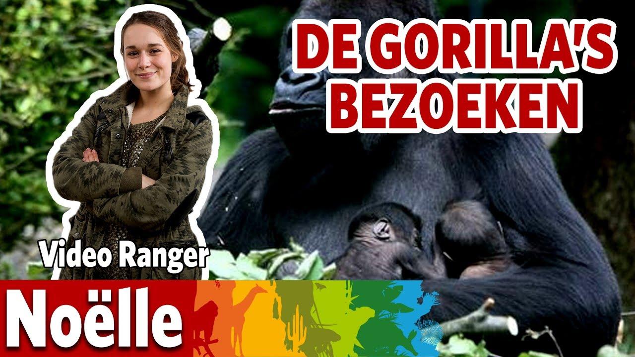 Ik ga gorilla's verzorgen!
