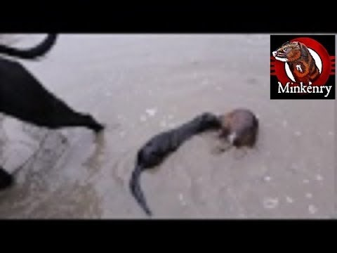 INTENSE Footage of Fang the Mink Getting a Muskrat in the Wa