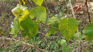 약초산행 백하수오(잎)…