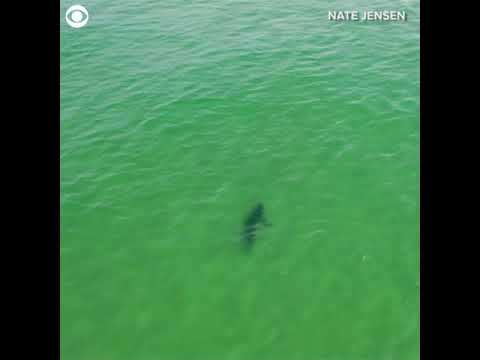 Video Extra - Two sharks swimming together - KTVQ com
