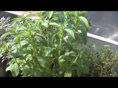 how to grow stevia commercially