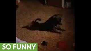 Dog has strange morning stretching routine