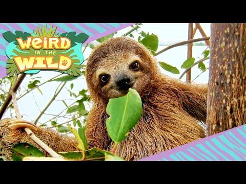 GIANT Ancient Sloths + More Facts You Didn't Know   WEIRD IN THE WILD