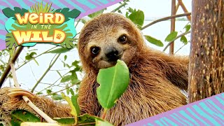 GIANT Ancient Sloths + More Facts You Didn't Know | WEIRD IN THE WILD