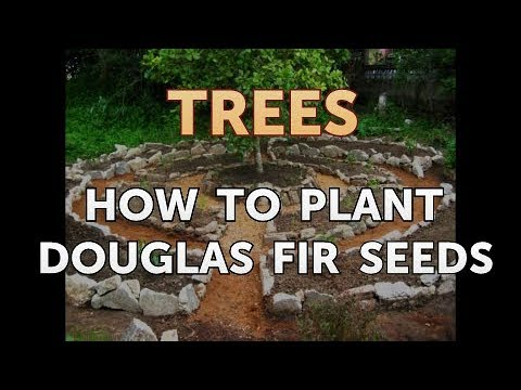 How to Plant Douglas Fir Seeds