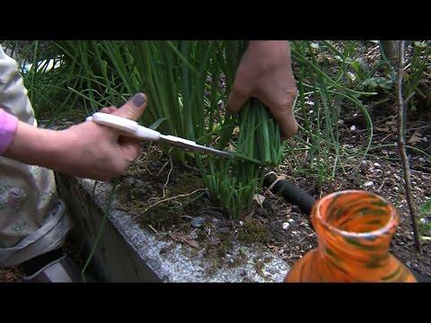 Garden Tip: Harvesting Chives