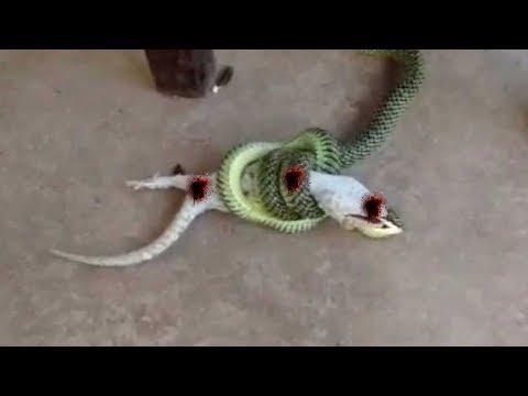 Green #snake vs big Lizard !!!Amazing