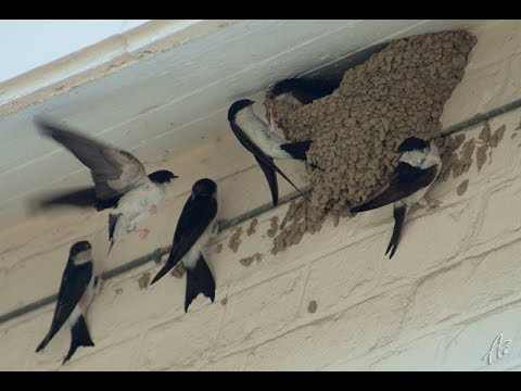 Fabrication de nids à Hirondelle à Langueux