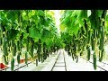 Awesome Greenhouse Cucumber Farm and Harvest - Vegetable Agriculture Technology in Greenhouse