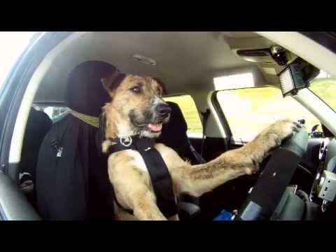 Meet Porter  The World u0027s First Driving Dog