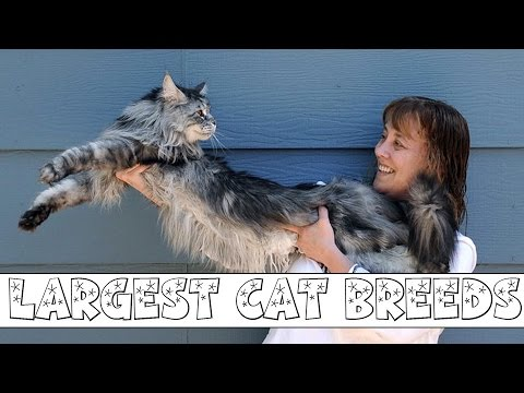 10 Largest Domestic Cat Breeds