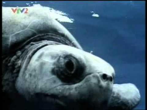 Rùa biển - Sinh vật dưới Đại Dương
