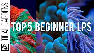 Top 5 LPS Corals for Beginners