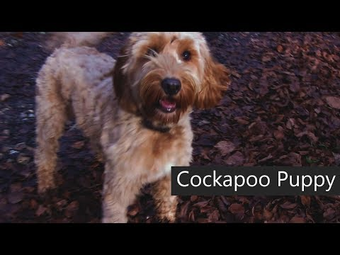 1 Year Old Cockapoo Puppy Playing In the Woods
