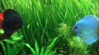Декоративный аквариум. Дискусы.