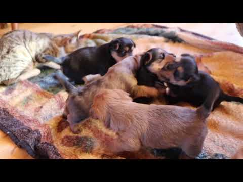 3 1/2 Week old Dunham Lake Australian Terrier puppies