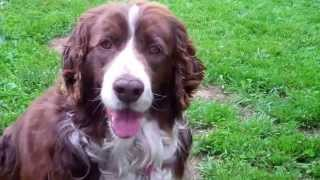 English Springer Spaniel - Maessr Presents Ginger 7: Finally Free...