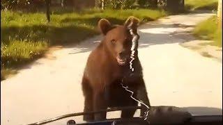 Греция: Молодой медведь вышел на сельскую дорогу и перекрыл путь автомобилю