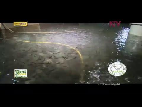 Seeds Of Gold: Fish Farming (Tilapia)