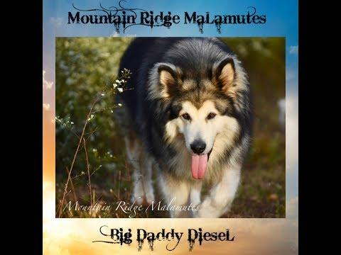 Mountain Ridge Giant Alaskan  Malamutes - Giant Alaskan Malamutes Play Time