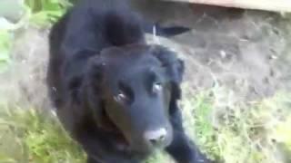 Golden Retriever / Border Collie Puppy