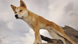 Собак динго предлагают вернуть на территории скотоводов