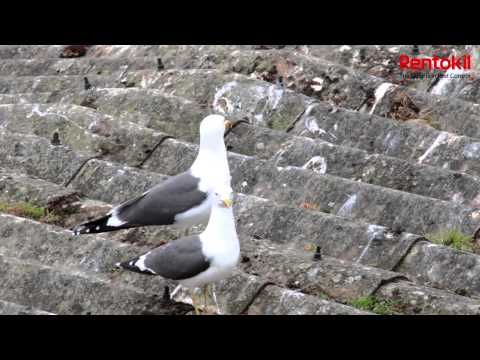 Rentokil Pest Control UK Gull Control Solutions