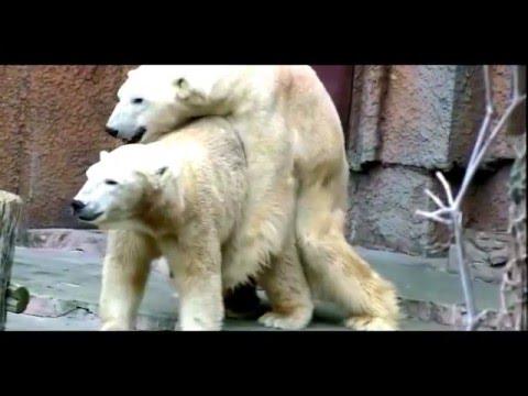 pene de oso polar