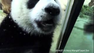 2014.07.16 圓仔仔又跟粉絲打招呼啦!!!!  The Giant Panda Yuan Zai