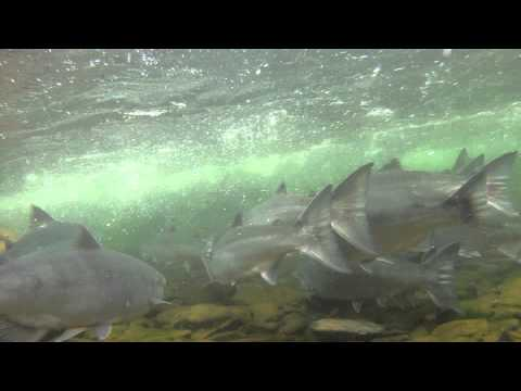 Russian River Early Sockeye Run Prospects - 2014 Season