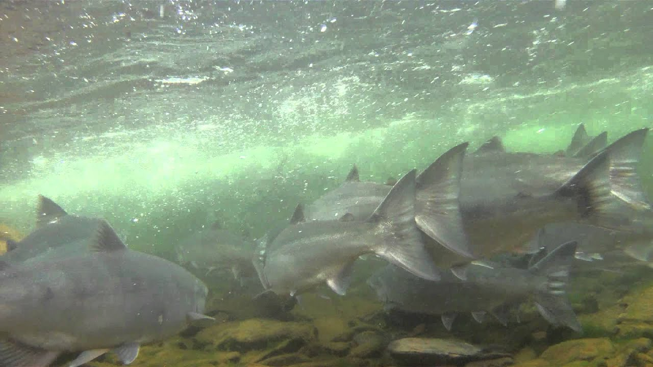 Russian river early sockeye run prospects 2014 season for Alaska fish counts