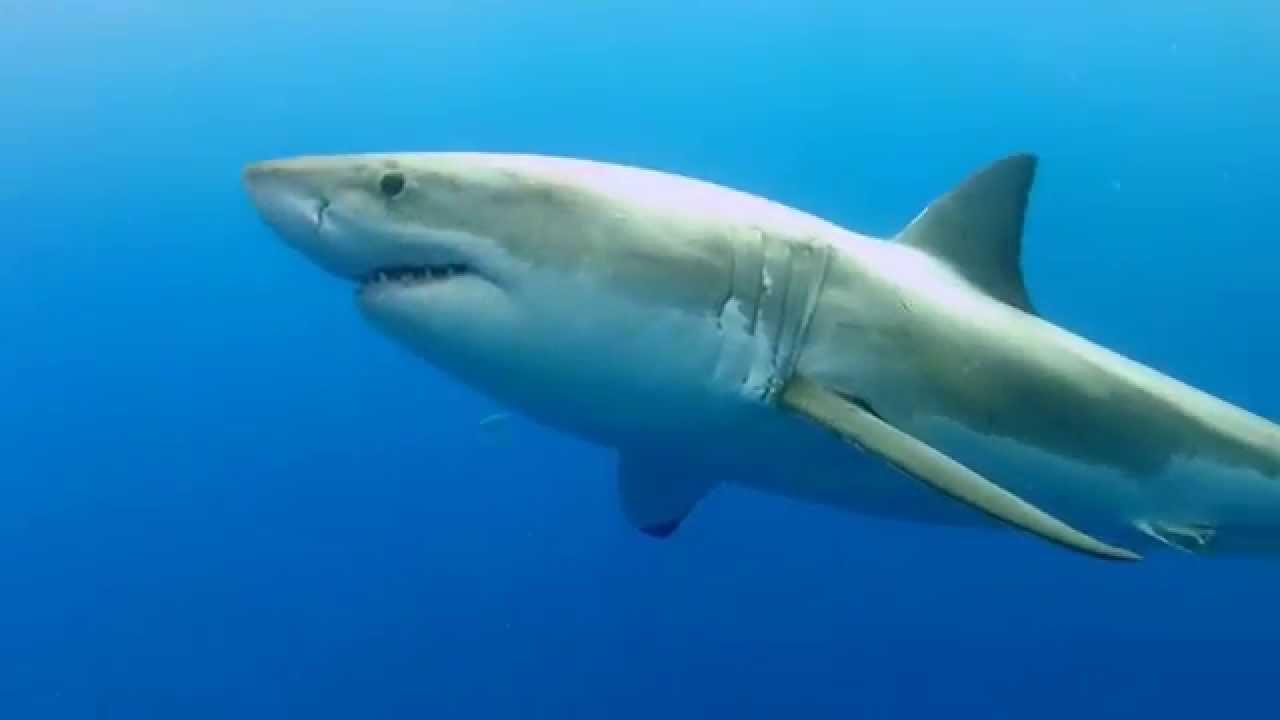 Grand requin blanc gws guadalupe island ao t 2014 - Coloriage grand requin blanc ...