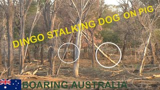 WILD DOG STALKING TO ATTACK PIG DOG ON PIG HUNTING WILD TROPHY BOARS AUSTRALIA