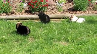 Pomeranian Puppies For Sale Litter B  Kathryn Miller