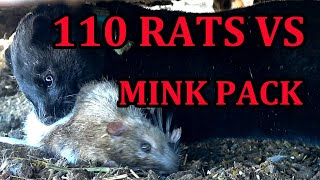 INFESTATION of Rats vs Mob of Mink and Dogs