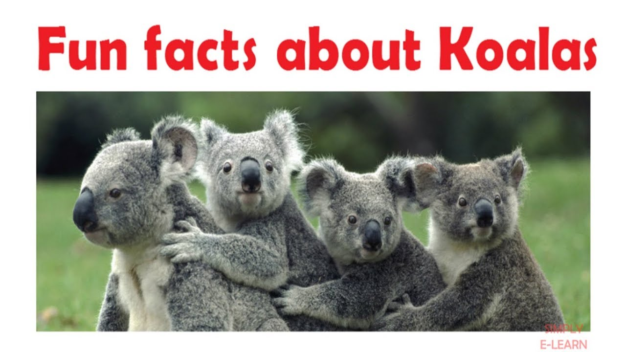 """information about a koala The strain of chlamydia infecting koalas is different from the one found  """"based  on this information and its own research with other koala care."""