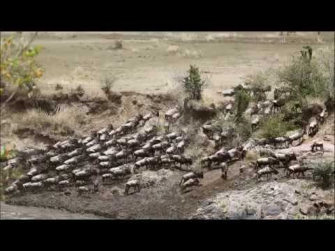Great Migration, Masai Mara, Kenya!! Totally Amazing!! Masai Mara Sightings!!