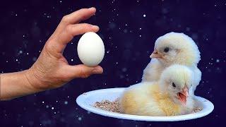Éclosions dans le poulailler 2. Deux éclosions pour 2 mamans poules.