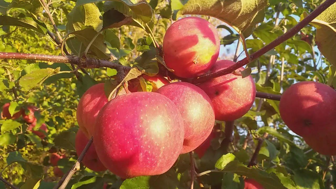 Осенний яблочный пейзаж:)  Яблоня зимнего срока созревания Эвелина (Apple Evelina). Обзор