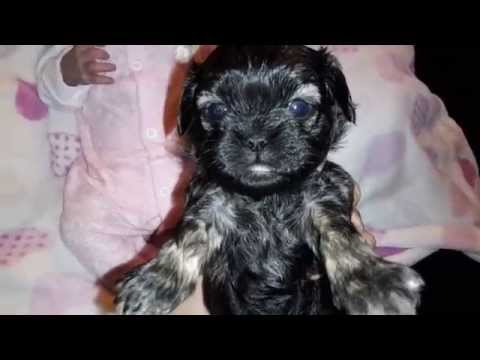 Silicone Newborn Yorkie Puppy By Ping Lau Funnycat Tv