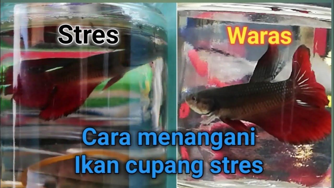 Cara Mengobati Ikan Cupang Yang Kuncup By Hobi Ikan Official