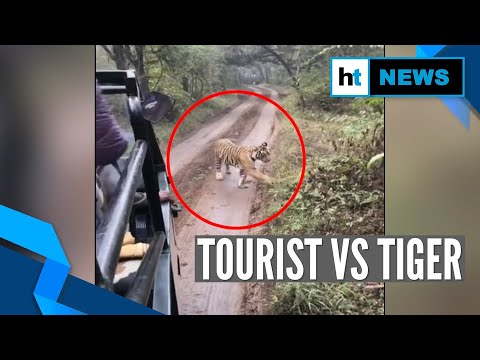 Watch: Tiger Chases Tourist Jeep At Ranthambore National Park