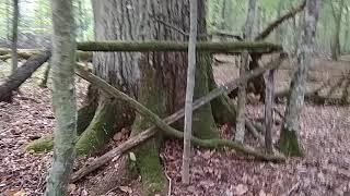 Rezerwat Dębowy Grąd w Puszczy Białowieskiej