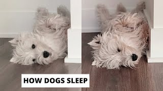 My Westie Dog's Funny Sleeping Position