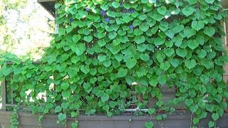 Tour of Morning Glory Vines Growing All Over My House