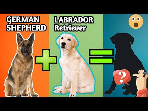 10 Incredible Mixed Cross Hybrid Of German Shepherd / Finest Cross breeds of german shepherd