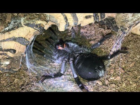 Time Lapse Molt Grammostola Pulchra  Brazilian Black Tarantula