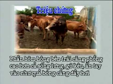 Chữa bệnh chướng bụng, đầy hơi ở trâu bò bằng thuốc nam - Trung tâm Thông tin KH&CN Đà Nẵng