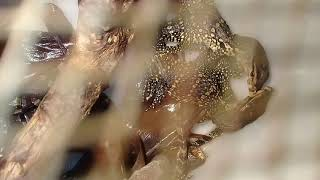 Salva sumatra, kura ambon, kura reds, kura daun